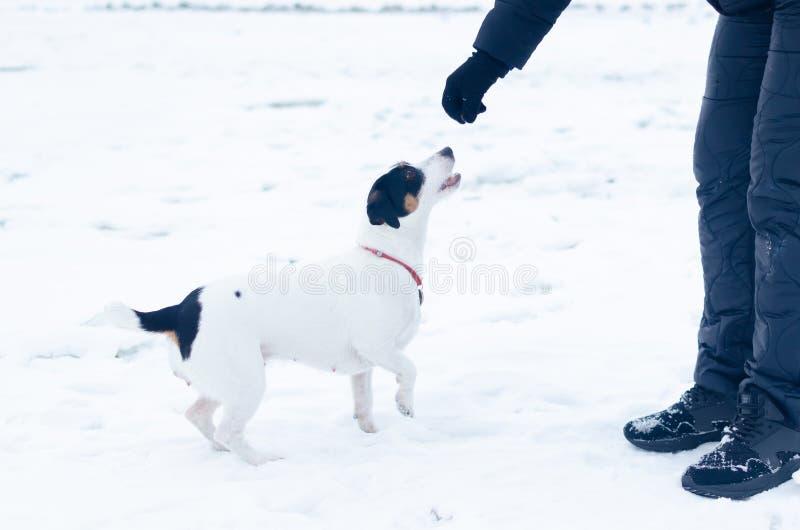 stålarrussell terrier Hunden utför kommandona av dess ägare Gå utomhus i vintern royaltyfri fotografi