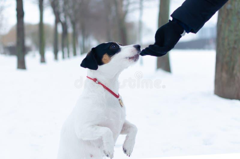 stålarrussell terrier Hunden utför kommandona av dess ägare Gå utomhus i vintern royaltyfria foton