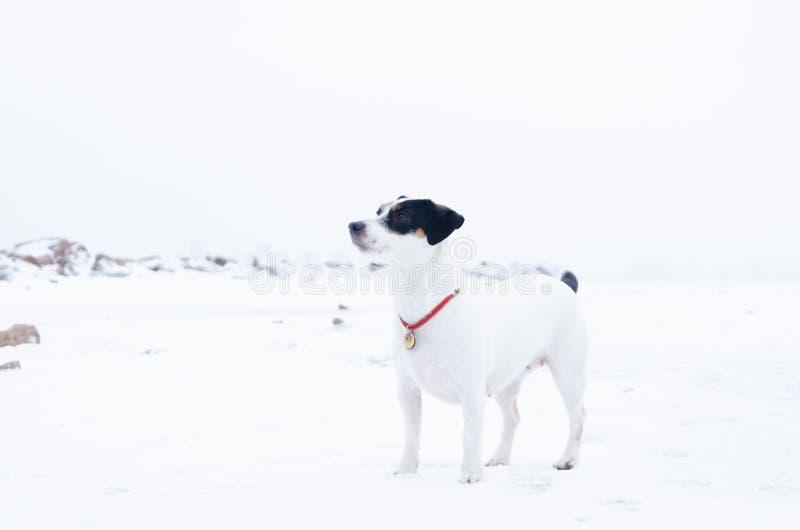 stålarrussell terrier Hunden utför kommandona av dess ägare Gå utomhus i vintern arkivbilder