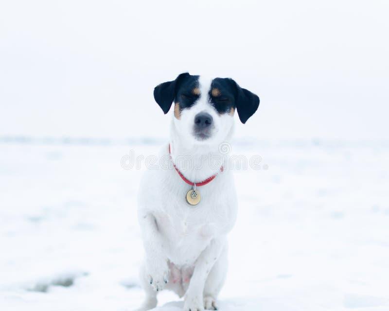 stålarrussell terrier Hunden utför kommandona av dess ägare Gå utomhus i vintern arkivfoto