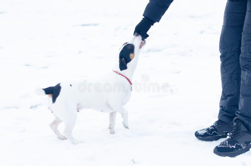 stålarrussell terrier Hunden utför kommandona av dess ägare Gå utomhus i vintern royaltyfri bild