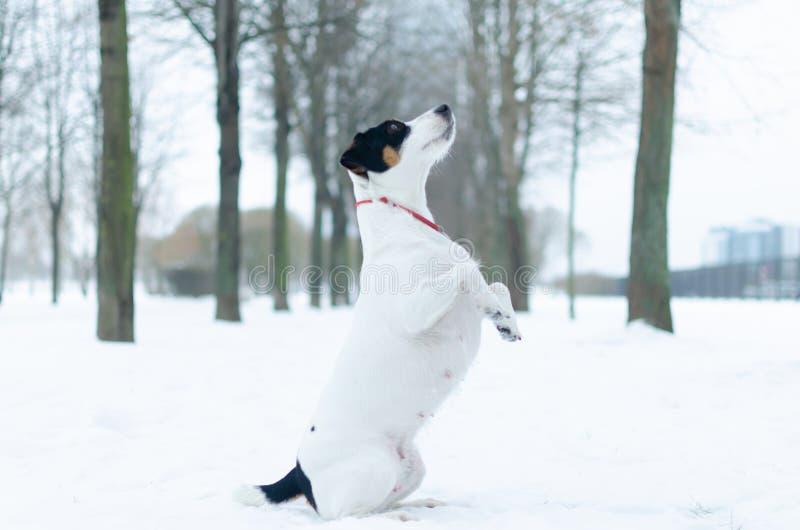 stålarrussell terrier Hunden utför kommandona av dess ägare Gå utomhus i vintern fotografering för bildbyråer