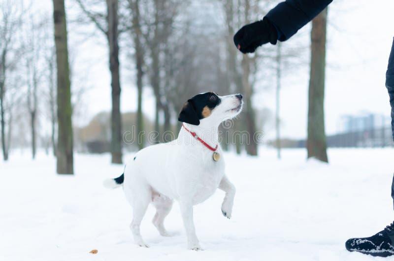 stålarrussell terrier Hunden utför kommandona av dess ägare Gå utomhus i vintern arkivbild