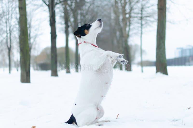 stålarrussell terrier Hunden utför kommandona av dess ägare Gå utomhus i vintern royaltyfri foto