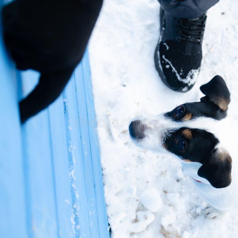 stålarrussell terrier Hunden utför kommandona av dess ägare Gå utomhus i vintern arkivfoton