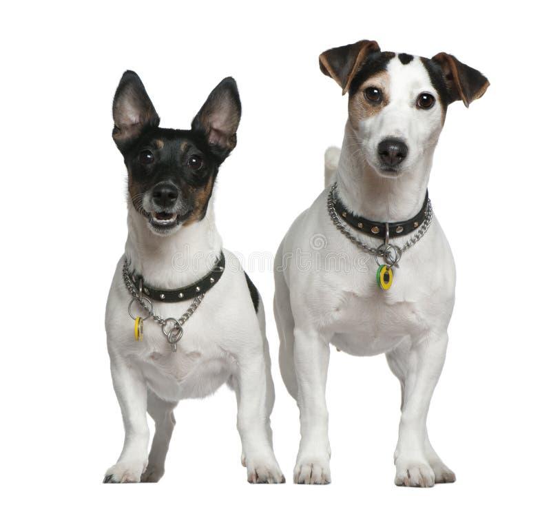 stålarrussell terriers två arkivfoton