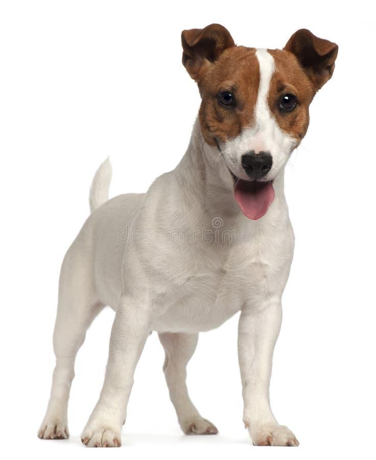 stålarvalprussell terrier royaltyfri fotografi