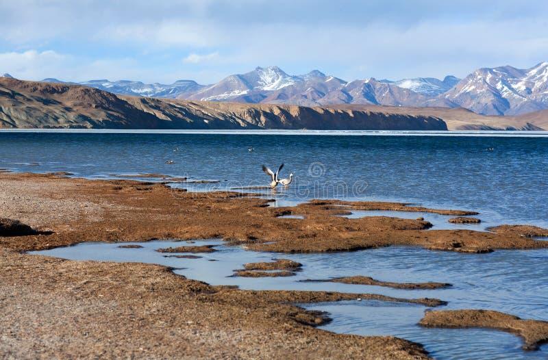 Stång-hövdad gås som flyger av på Manasarovar sjön i Tibet fotografering för bildbyråer
