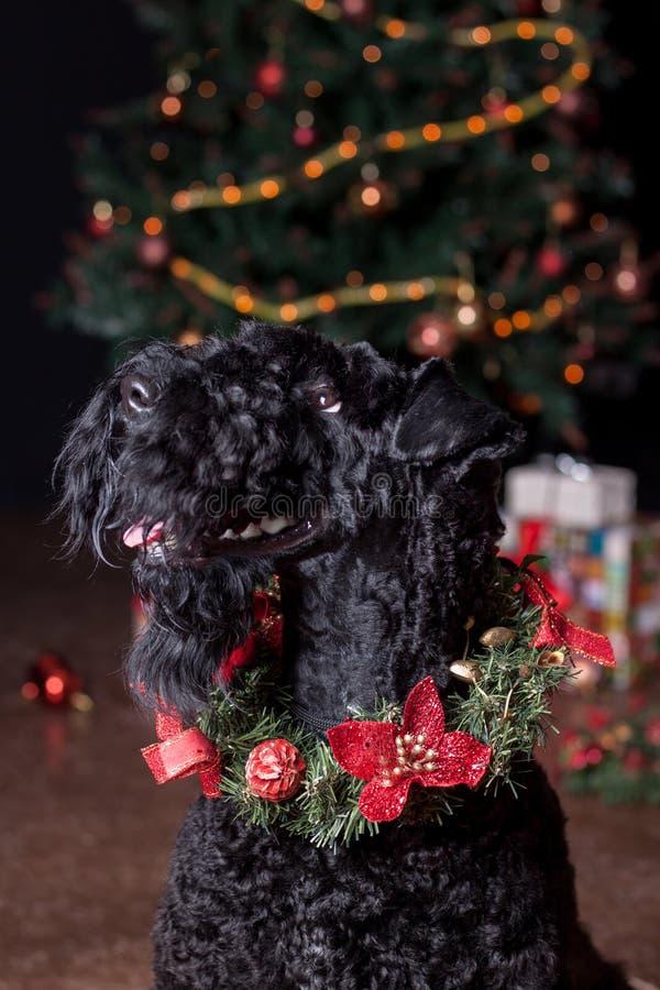 Står den blåa terriern för irländare i julkrans nära julträdet Älsklings- djur royaltyfria bilder