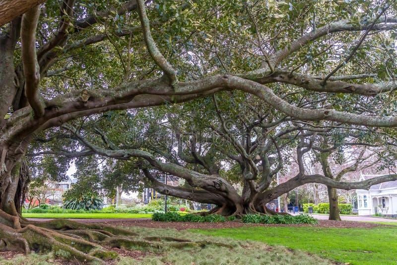 Stödet rotar av den Moreton fjärdfikonträdet royaltyfria bilder
