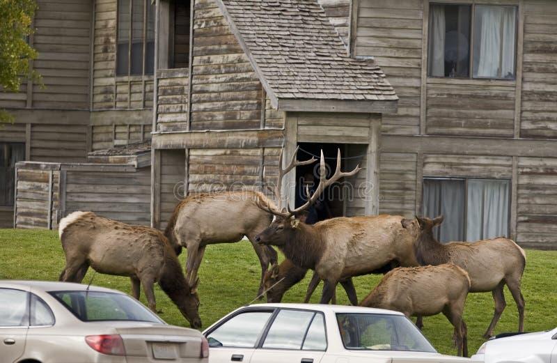 Störender Verkehr der Elchherde in MammutYellowstone stockfoto