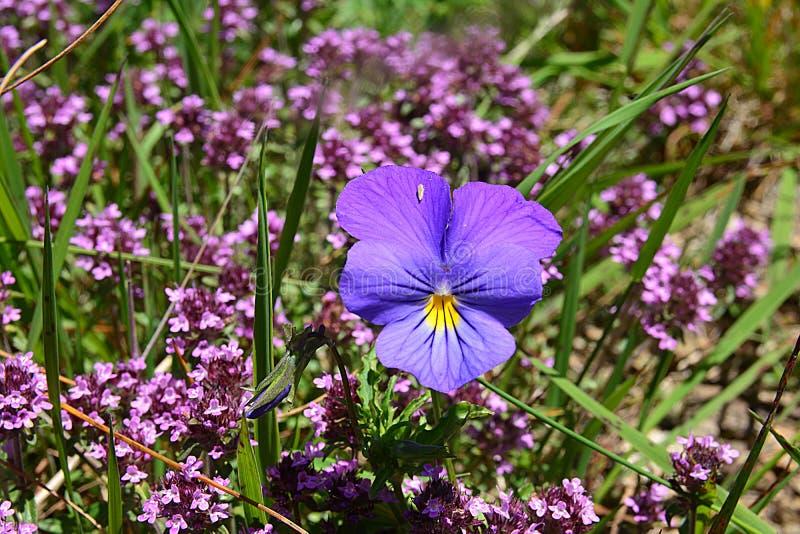 Större blått-lilor blommar i gruppen av den lilla lilablomman arkivfoto