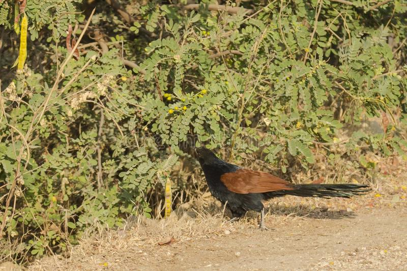 Större Coucal sydliga Coucal royaltyfria bilder