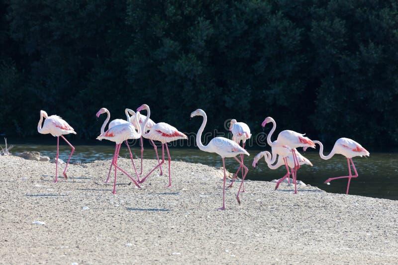 Större flamingo i Dubai arkivbilder