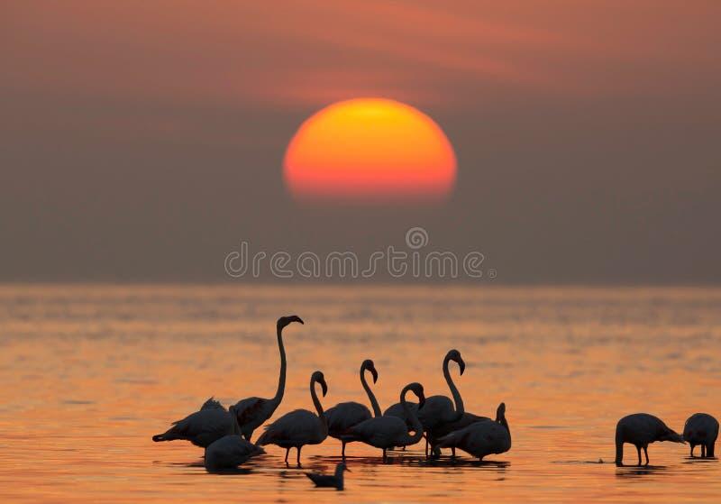 Större flamingo och morgonsolen arkivbild