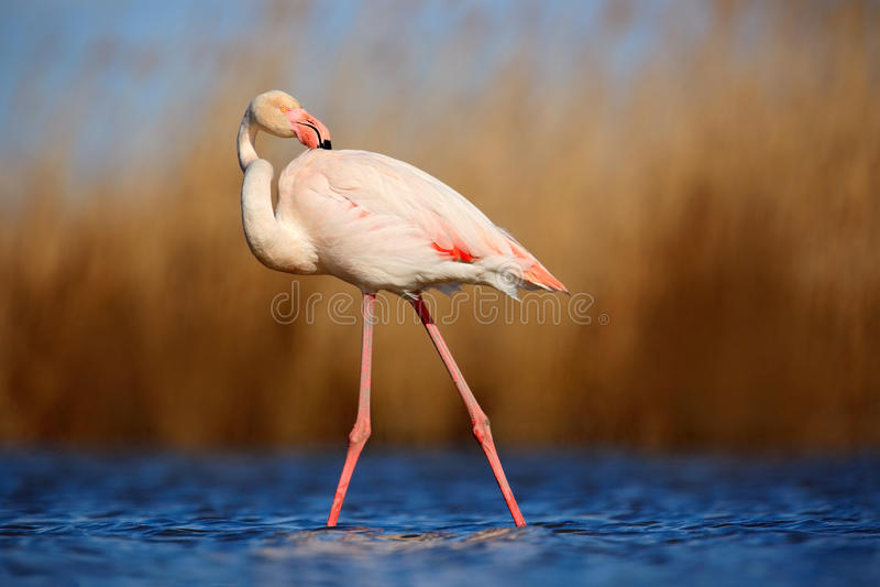 Större flamingo, Phoenicopterus ruber, härlig rosa stor fågellokalvårdfjäderdräkt i mörker - blått vatten, med aftonsolen, vass i royaltyfria foton