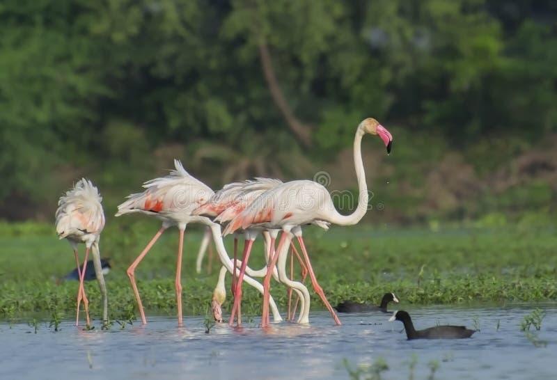 Större flamingoflock i våtmarken arkivbilder