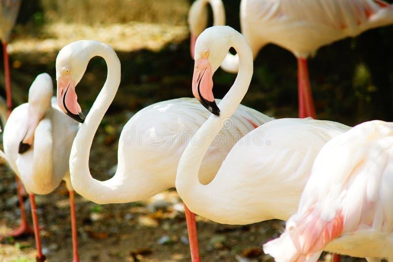 Större flamingogrupp royaltyfria bilder