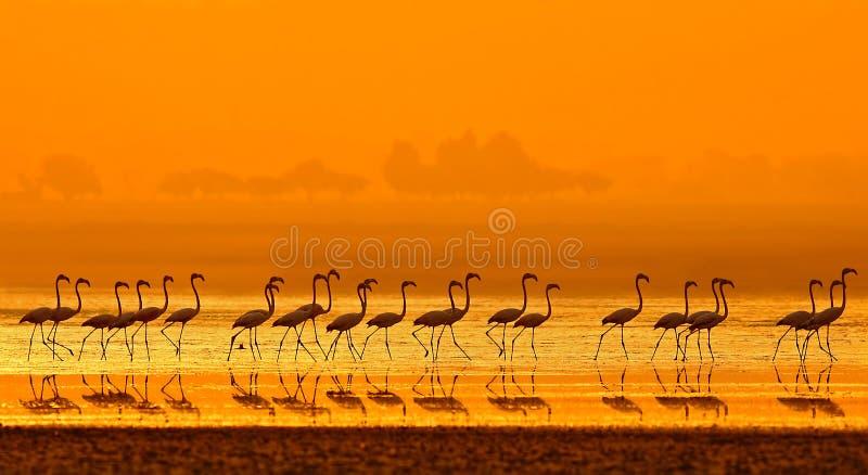 Större flamingoPhoenicopterus roseus arkivbilder