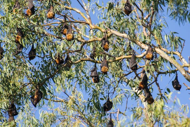 Större indiska fruktslagträn eller indisk flyga räv som hänger på träd arkivfoto