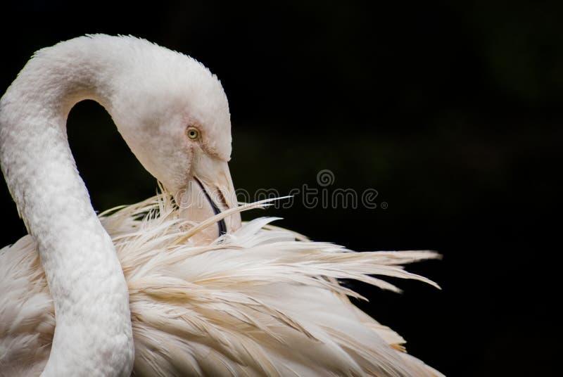 Större isolerad flamingoPhoenicopterus roseus i närbild och arkivbilder