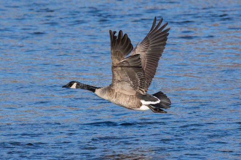 Större kanadensiskt gåsflyg ovanför floden arkivfoto