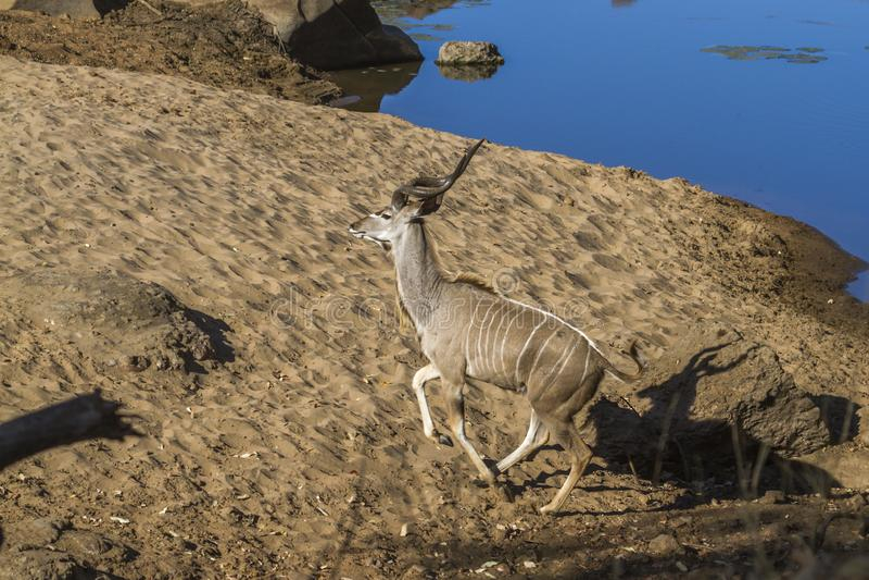 Större kudu i den Kruger nationalparken, Sydafrika arkivfoton