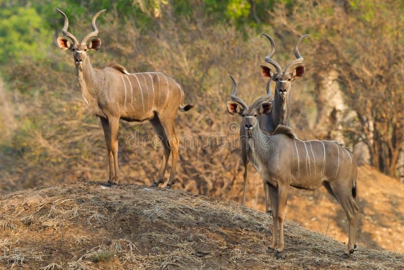 Större Kudu tjurar som står på termitkullen arkivfoto