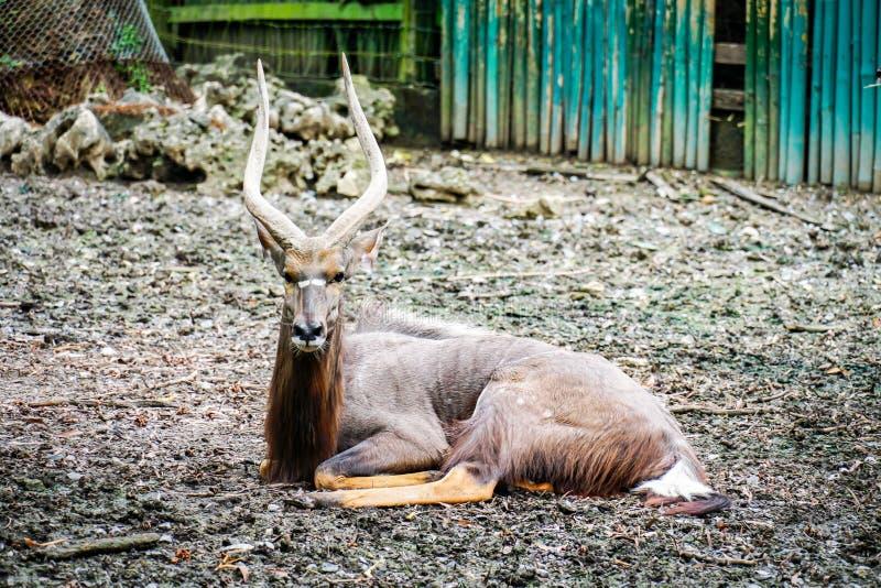 Större kuduantilopman i zoo arkivfoton