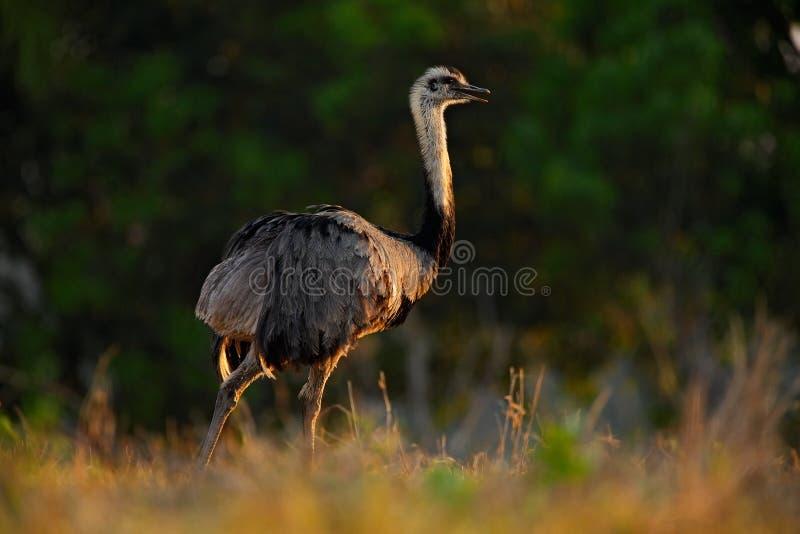 Större nandu, americana nandu, stor fågel med fluffiga fjädrar, djur i naturlivsmiljön, aftonsol, Brasilien arkivfoton