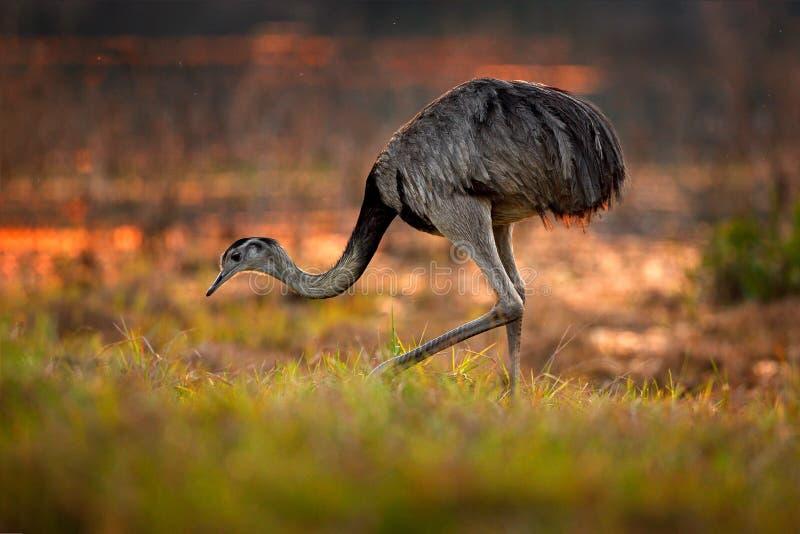 Större nandu, americana nandu, stor fågel med fluffiga fjädrar, djur i naturlivsmiljön, aftonsol, Pantanal, Brasilien Nandu på fotografering för bildbyråer