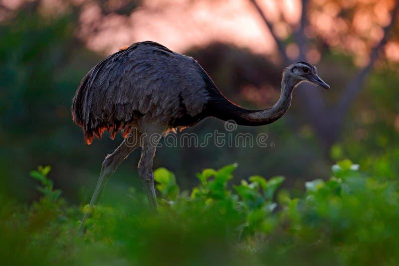 Större nandu, americana nandu, stor fågel med fluffiga fjädrar, djur i naturlivsmiljön, aftonsol, Pantanal, Brasilien Nandu på arkivfoton