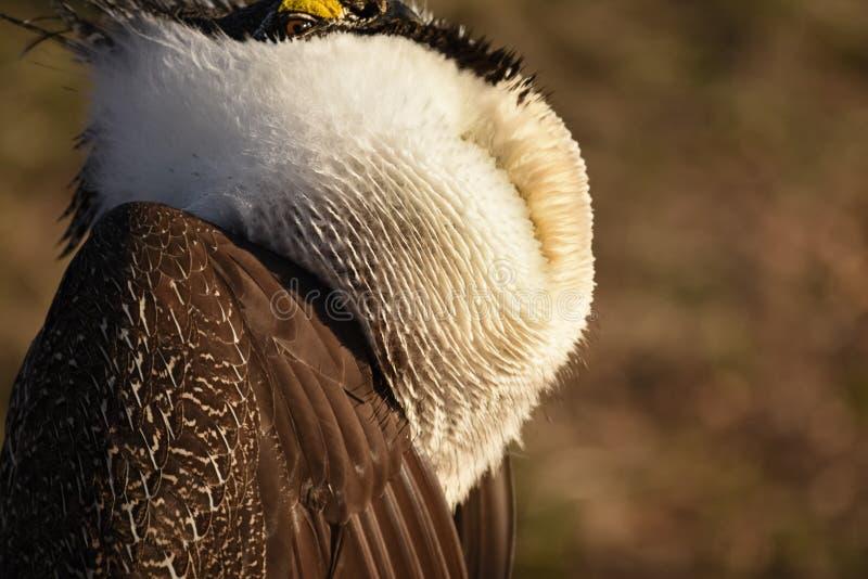Större Sage Grouse Beautiful Detail Ruff och huvudfjäderdräkt royaltyfri bild