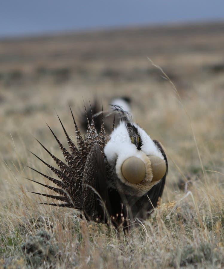 Större Vis man-skogshöns Centrocercusurophasianus på en Lek i SE Wyoming 7 arkivfoton