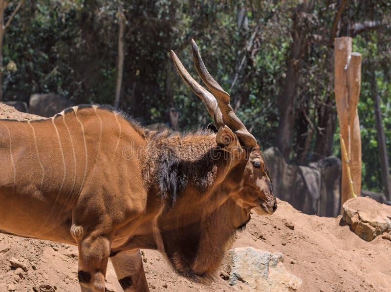 Störst antilop för östlig jätte- eland i världen här på Sanen Diego Zoo i Kalifornien USA arkivbilder