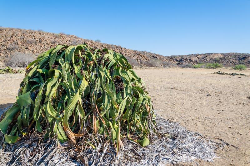 Störst bekant WelwitschiaMirabilisväxt som växer i den varma ointressanna Namib öknen av Angola royaltyfri fotografi