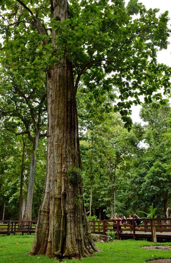 Störst teakträ i ordet, störst teaktränationalpark, Uttaradit, Thailand, arkivfoton