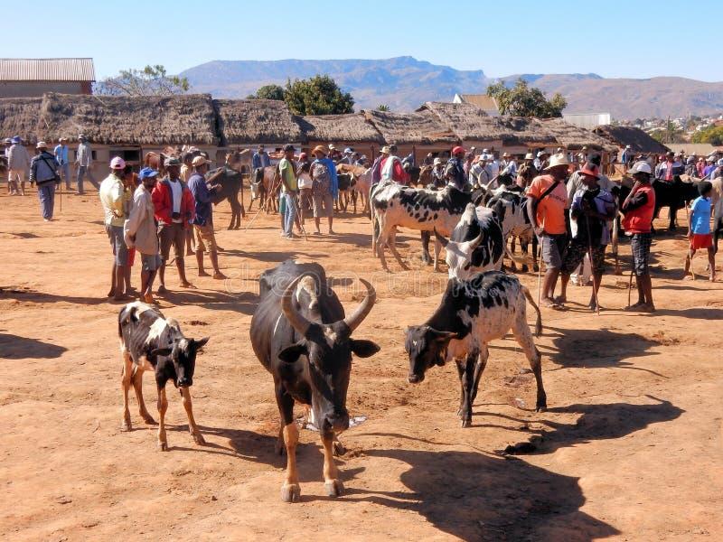 Störst Zebumarknad i Madagascar, Afrika arkivfoton