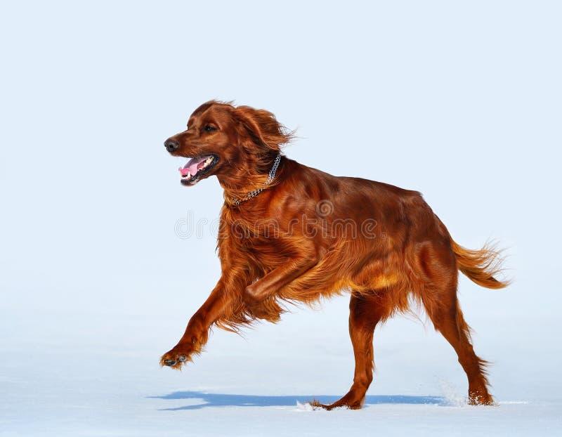 Stöter ihop med den irländska röda setter för den lyckliga hundaveln snöfältet arkivbilder