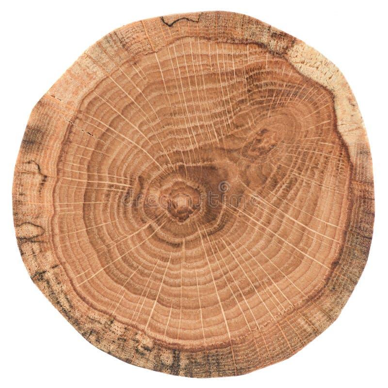 Stück des kreisförmigen hölzernen Querschnitts mit Baumwachstumsringen Eichenscheibenbeschaffenheit lokalisiert auf weißem Hinter lizenzfreies stockbild