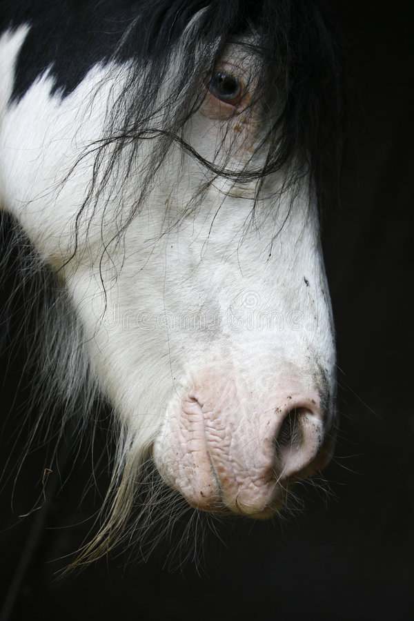 Stümperpferdenportrait lizenzfreie stockfotografie