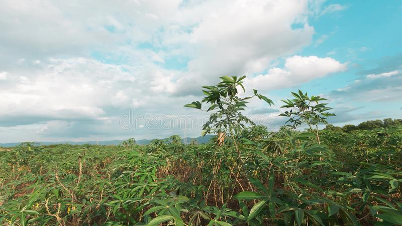 Stürmisch und Wolke bewegt Tapiokabaum im Bauernhof lizenzfreies stockbild