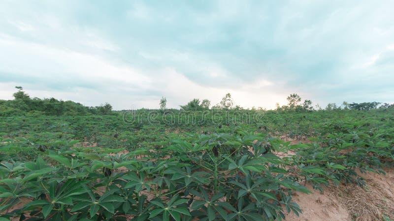 Stürmisch und Wolke bewegt Tapiokabaum im Bauernhof stockbild