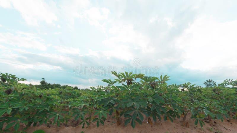 Stürmisch und Wolke bewegt Tapiokabaum im Bauernhof stockfoto