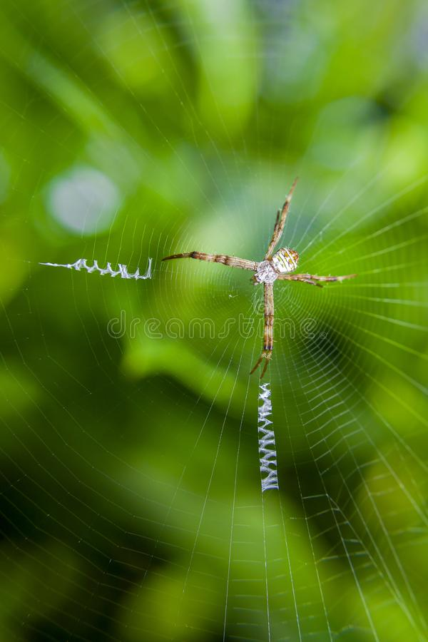 St. Andrew Cross Spider on its web with decorative web design and spider is in cross position royalty free stock photography