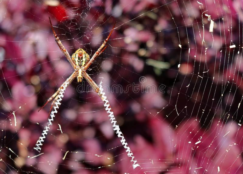 St Andrews Cross Spider över en purpurfärgad tillbaka jordning arkivfoton