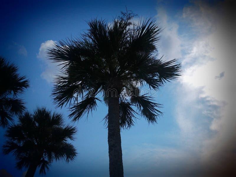 ST Augustine drzewko palmowe zdjęcie royalty free