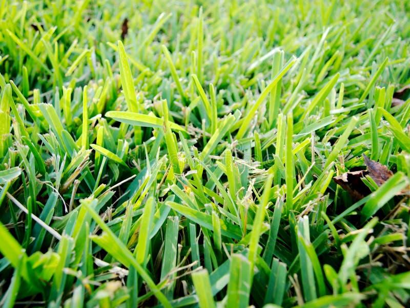 St Augustine Grass Fresh Cut fotografia stock