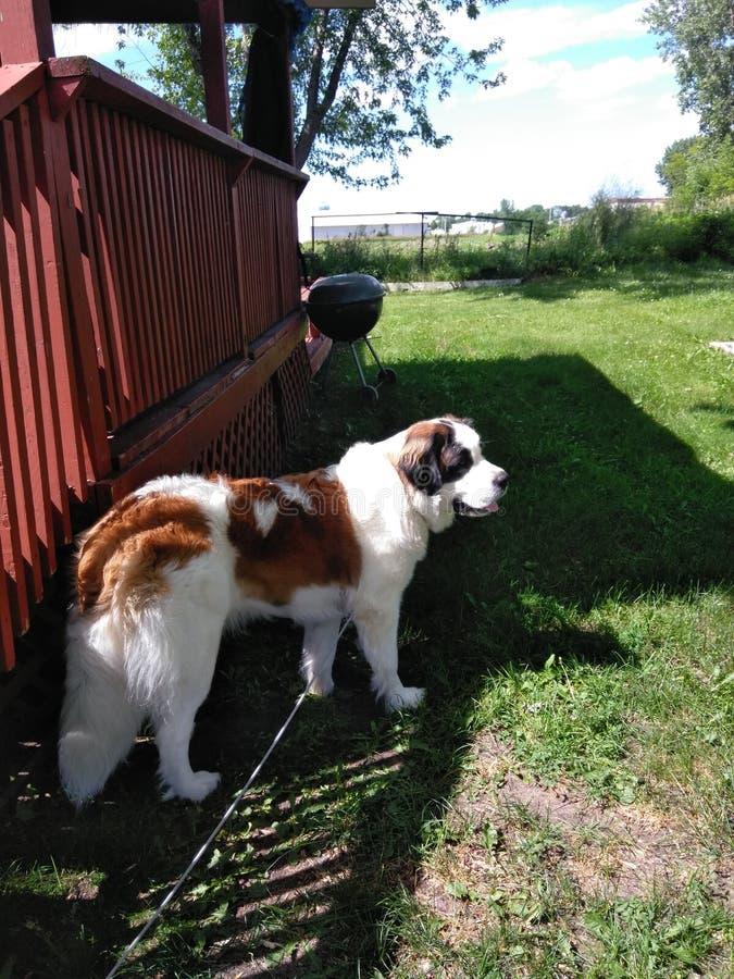 St. Benard rescue dog stock photos