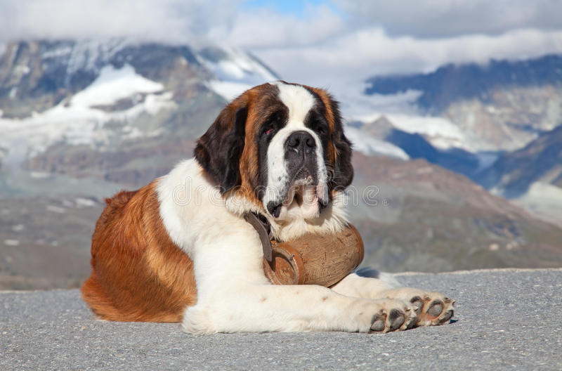 St. Bernard Dog royalty free stock photo